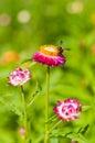 Closeup Straw flower Everlasting