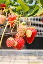 Closeup of Strawberry hanging farm full of ripe strawberries in Royalty Free Stock Photo