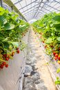 Closeup of Strawberry hanging farm full of ripe strawberries,Ch Royalty Free Stock Photo