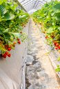 Closeup of Strawberry hanging farm full of ripe strawberries,Chi Royalty Free Stock Photo