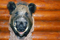 Closeup stuffed wild boar head with big fangs hanging on wooden wall log Royalty Free Stock Photos