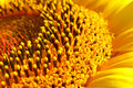 Closeup of sunflower Stock Photo