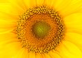 Closeup of sunflower for background uses Royalty Free Stock Images