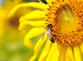 Closeup Sunflower with bee Royalty Free Stock Photos