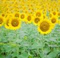 Closeup of sunflower Royalty Free Stock Photo