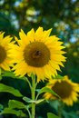 Closeup of a sunflower head with bee sitting on it Royalty Free Stock Photo