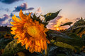Closeup of Sunflower at sunset Royalty Free Stock Photo
