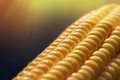 Closeup of sunlit yellow corn kernels, set in neat rows Royalty Free Stock Photo