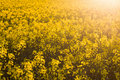 Closeup of a sunny field of oilseed rape Stock Photography