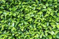 Closeup surface green leaves of plant in the garden textured background Royalty Free Stock Photo