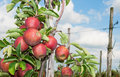 Closeup of tasty apples  ready for harvesting Royalty Free Stock Photos