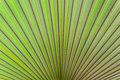 Closeup with texture of palm leaf symmetric and radiating lines Stock Photos