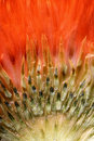 Closeup Thistle In Red Light