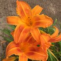 Closeup of three bright orange daylilies. Royalty Free Stock Photo