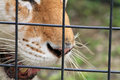 Closeup tigers face seen through cage rescued caged tiger against fence detailed view of nose lips mouth and whiskers and showing Royalty Free Stock Photo