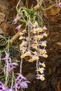 Closeup to Beautiful Dendrobium Primulinum Laos and Dendrobium Superbum Var. Anosmum Orchid Flowers Royalty Free Stock Photo