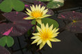 Closeup to Beautiful Water Lily/ Nymphaea Lotus/ Nymphaeaceae Royalty Free Stock Photo