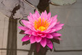 Closeup to Bright Water Lily/ Nymphaea Lotus/ Nymphaeaceae Royalty Free Stock Photo