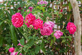 Closeup to Colorful Pink or Summer Damask Rose/ Rosa ? Damascena Mill./ Rosaceae Flowers Royalty Free Stock Photo
