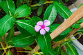 Closeup to Madagascar Periwinkle/ Vinca/ Old Maid/ Cayenne Jasmine/ Rose Periwinkle/ Catharanthus Roseus G. Don./ APOCYNACEAE Royalty Free Stock Photo