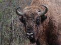 Closeup to a male european bison in the autumn for aurochs forest bonasus also known as wood is Stock Photography