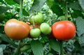 Closeup tomatoes inside greenhouse Royalty Free Stock Photo