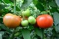 Closeup tomatoes inside greenhouse Royalty Free Stock Photo
