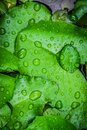Closeup top view droplets on the lotus with leaves green color in the pond after rain. Using wallpapers or background for nature w Royalty Free Stock Photo