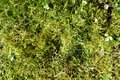 Lawn overgrown with moss Royalty Free Stock Photo