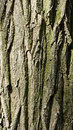 Closeup of tree trunk crust skin detail Royalty Free Stock Photography