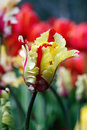 Closeup of a tulip Royalty Free Stock Photo