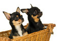 Closeup of two adult chihuahua dog sitting in a basket isolated Royalty Free Stock Images