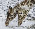 Closeup Of Two Giraffes Eating...