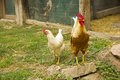 Closeup of two hen in a farmyard Royalty Free Stock Photography