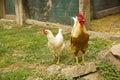 Closeup of two hen in a farmyard