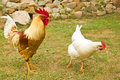 Closeup of two hen in a farmyard gallus gallus domesticus Royalty Free Stock Photo