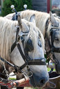 Closeup of two horses ready to pull a trolley Stock Photo