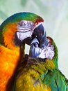 Closeup of two hybrid macaws kissing. Royalty Free Stock Photo