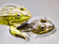 Closeup of two mating green frogs in water Stock Photo