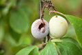 Closeup of two plums one healty and one moldy close up Royalty Free Stock Images