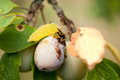 Closeup of two plums one healty and one moldy with hornet on close up them Stock Photo