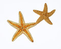 Closeup two starfishes white background Stock Image