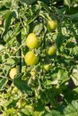 Green vine tomatoes growing in organic vegetable garden Royalty Free Stock Photo