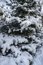 Closeup of a vertical fragment of a blue Christmas tree covered with white fluffy snow. Spruce decorated with Christmas balls Royalty Free Stock Photo