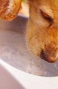Closeup very cute cocker spaniel dog drinking water from metal bowl, animal nutrition concept Royalty Free Stock Photo