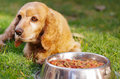 Closeup very cute cocker spaniel dog posing in front of metal bowl with fresh crunchy food sitting on green grass Royalty Free Stock Photo