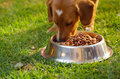 Closeup very cute mixed breed dog eating from metal bowl with fresh crunchy food sitting on green grass, animal