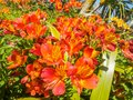 Closeup view of beautiful bright orange and yellow Peruvian lily or  Alstroemeria flowers in the garden on a sunny day.y Royalty Free Stock Photo