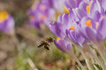 Closeup view of bee arriving to the crocus flower Royalty Free Stock Photo