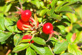 Closeup view berries of wild dog rose Royalty Free Stock Photo